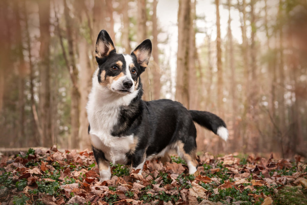 corgi standing in forest with fall leaves after editing out leash