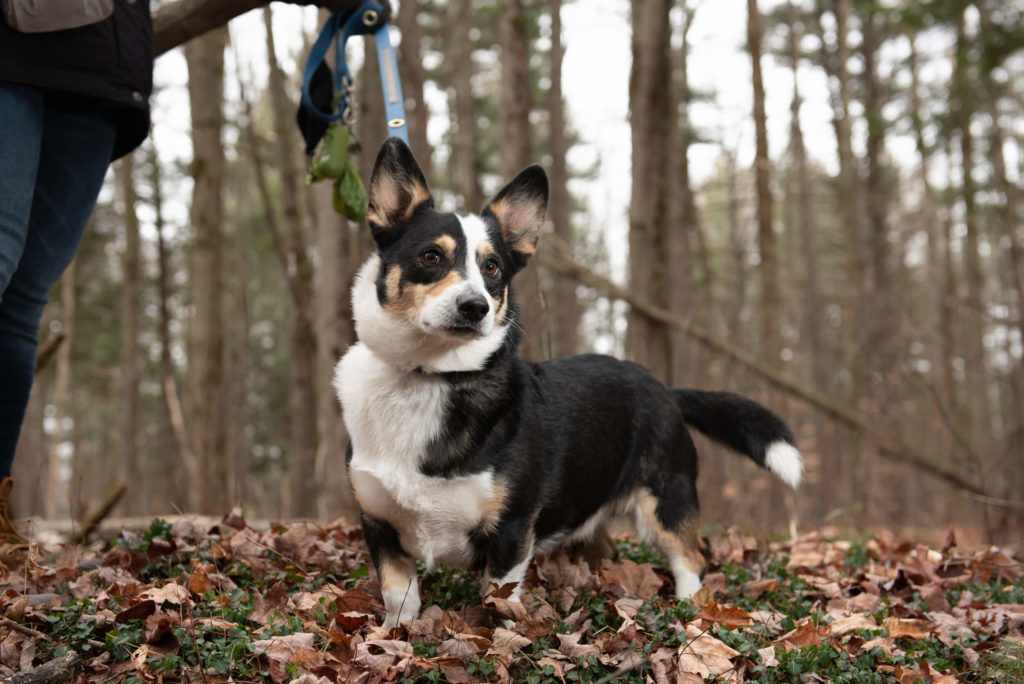 corgi standing in forest with fall leaves on a leash