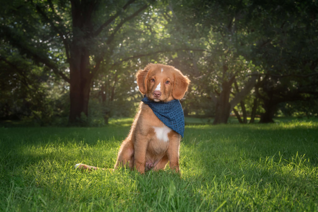 golden puppy sitting on grass in park with blue bandana