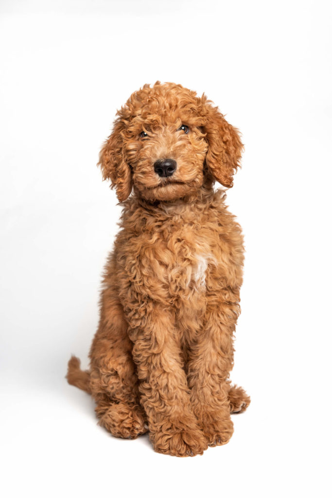 doodle dog sitting in front of white backdrop