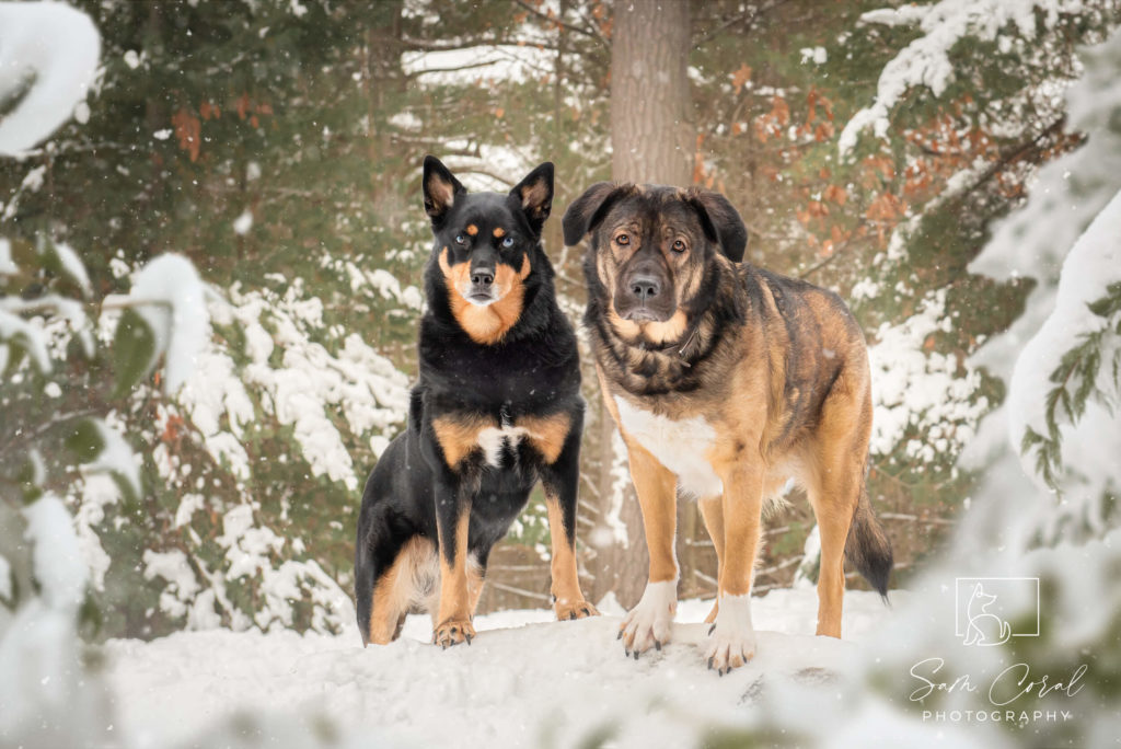 Two dogs standing on hill in forest covered in snow
