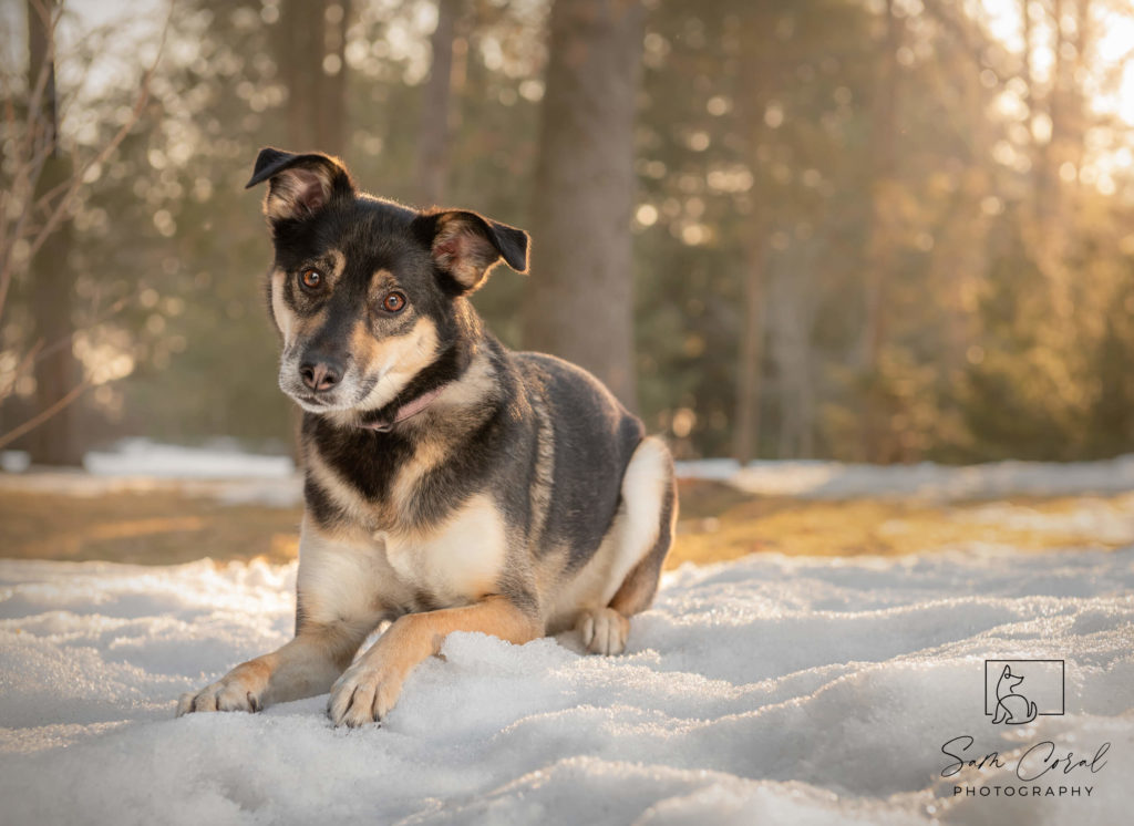 Mutt dog laying in snow at sunset