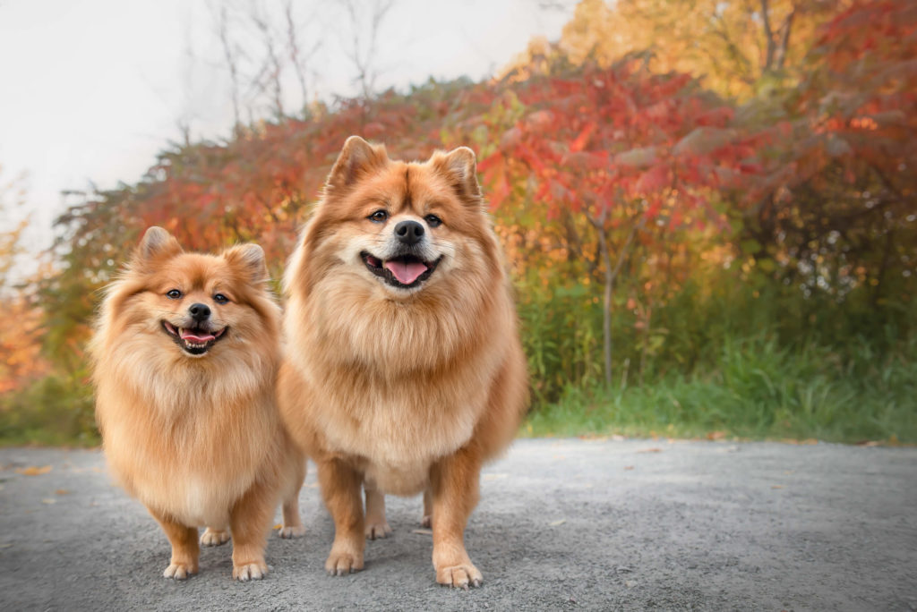 Two Pomeranians, dog rescues, standing in front of fall coloured leaves looking at the camera, shot by Sam Coral Photography