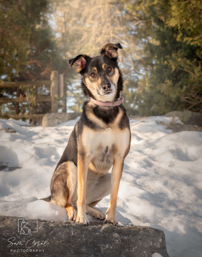 Winnie, a dog rescue, sitting on a rock in the snow with her head cocked to one side while looking at the camera, shot by Sam Coral Photography
