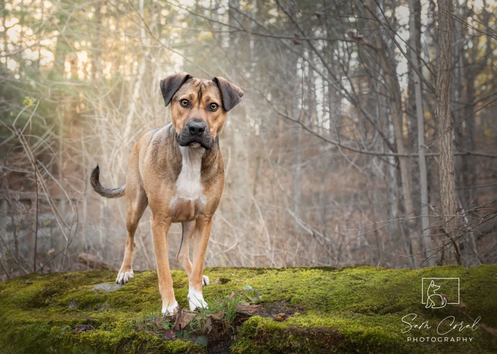 Indie, a rescue dog photographed outside in forest with moss, looking at camera, shot by Sam Coral Photography in Ottawa