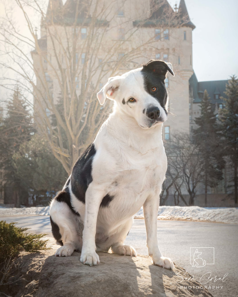 Phoenix, a rescue dog photographed outside in Ottawa, looking at camera, shot by Sam Coral Photography
