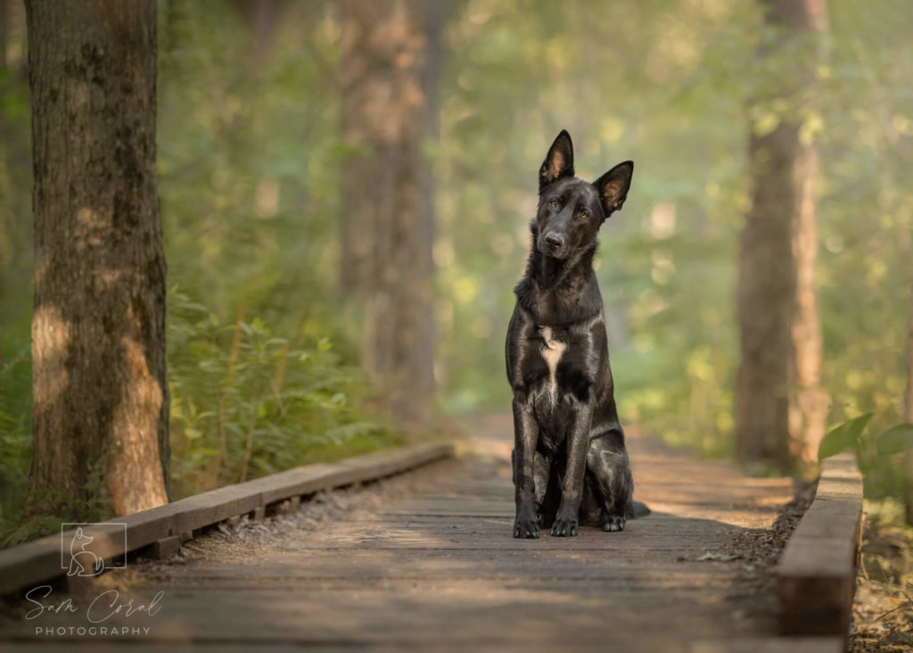 Black dog sitting on a boardwalk in a forest in Ottawa, looking at the camera, shot by Sam Coral Photography