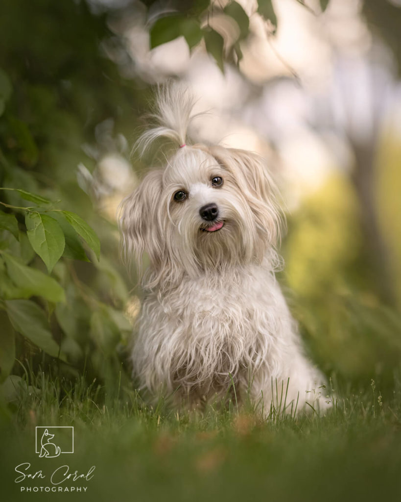 Small white dog sitting in grass at park with trees in Ottawa, looking at the camera, shot by Sam Coral Photography