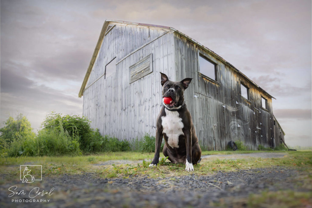 Pitbull dog sitting in front of barn with red ball in mouth in Ottawa, looking at the camera, shot by Sam Coral Photography